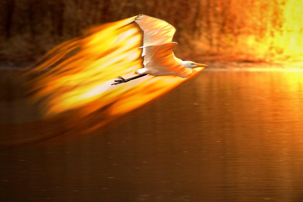Phoenix Egret