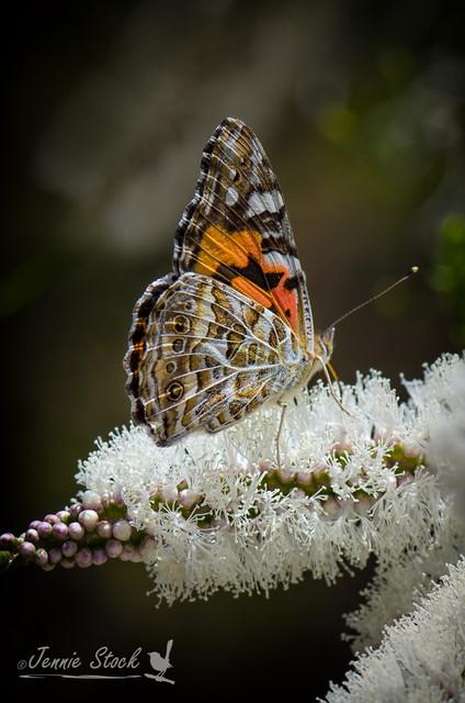 Butterfly on melaleuca