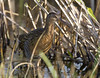 King Rail IMG_3186edt by cmescamilla