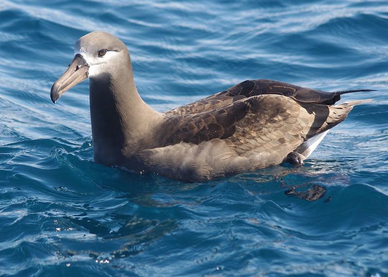 black_footed_albatross_reesman_odfw