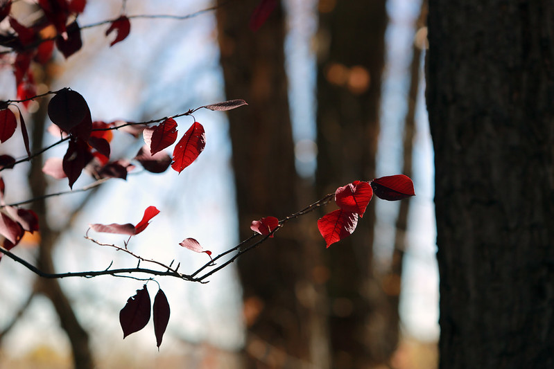 2014 10 25 - Red Leaves - 9S3A3773