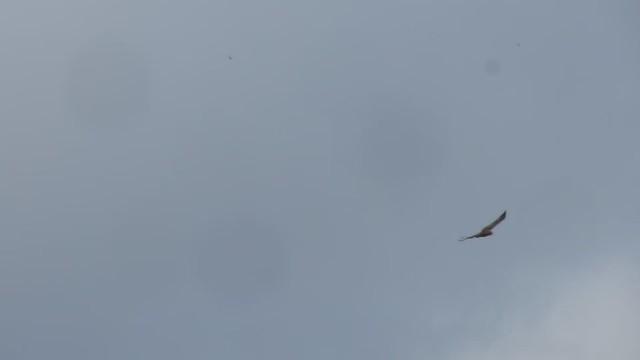 MVI_5184 red tail hawk west isla vista crow bomb