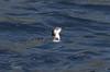 Little blue penguin Eudyptula minor by Maureen Pierre