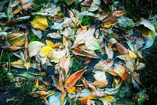 Imola e le sue foglie...Imola and its leaves ...
