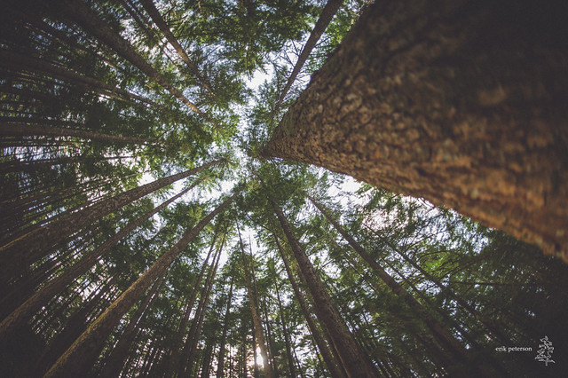 Tall trees; Cumberland, Canada