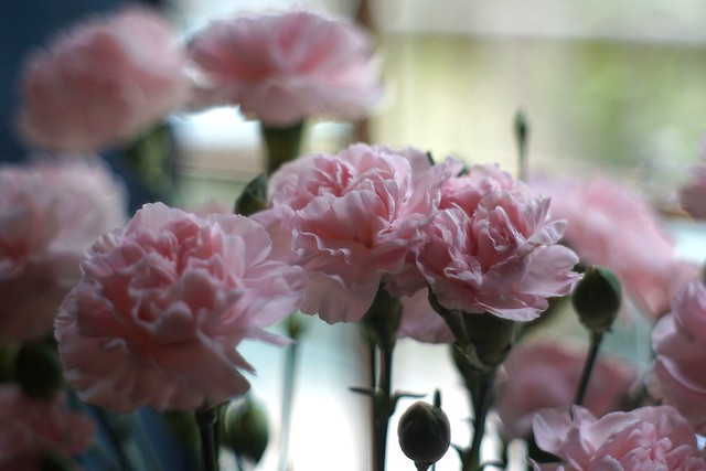 Pink Carnations, Sony a6000 with Nikkor HC 5.0cm f2.0 (Sonnar)
