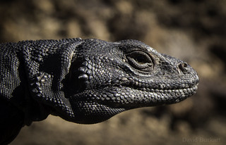 Common Chuckwalla (Sauromalus ater) | by David A. Burkart