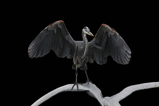 Great Blue Heron with open wings. | by Alexandra Rudge. Peace & love!