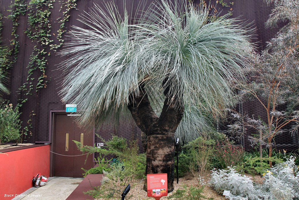 Xanthorrhoea glauca , Grass Tree, Flower Dome, Gardens By
