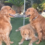 Meeting of the golden minds. Maya, Ivy & Bailey