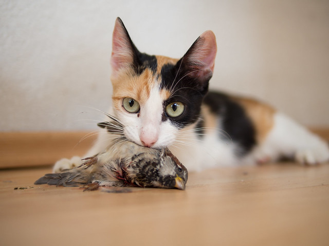 Cat holding a caught bird in its mouth