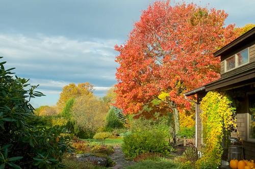 acerrubrum acerrubrumredsunset autumn autumncolor autumnleaves chineseyam cinnamonvine dioscoreabatatas dioscoreaoppositifolia fallcolor fallcolors fssp peakcolor redmaple