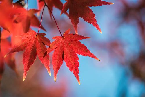 bokeh maple color tree glenfoerd nature momiji leaves acerpalmatum beauty japanesemaple fall autumn red philadelphia pennsylvania unitedstates us nikon d7200