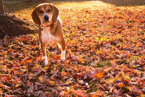 autumn sunset red portrait orange dog sun sunlight tree fall beagle colors leaves backlight puppy newjersey october nj canine somerset foliage camouflage romeo portfolio