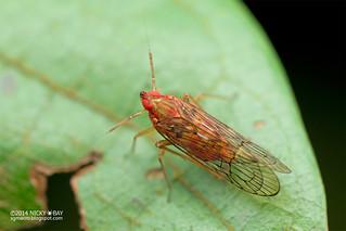 Planthopper (Delphacidae) - DSC_5487