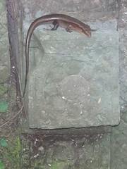 #7477 salamander
