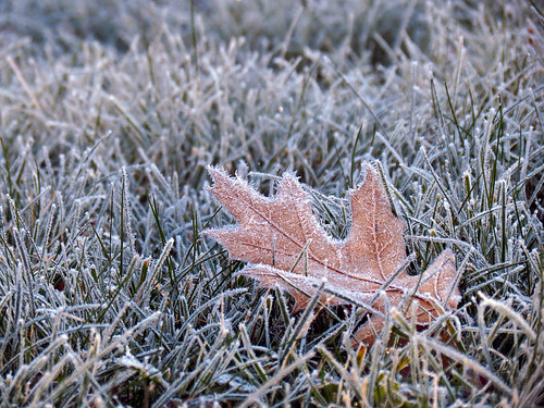 grass leaf quercus frost northcarolina redoak westernnorthcarolina southernappalachians danielboonenativegardens canonpowershotsx40hs