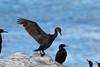 Brandt's Cormorant, Big Sur, Monterey, California by Terathopius