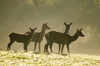 Killarney Red Deer Rut RS010 | by Philip Blair's Photos