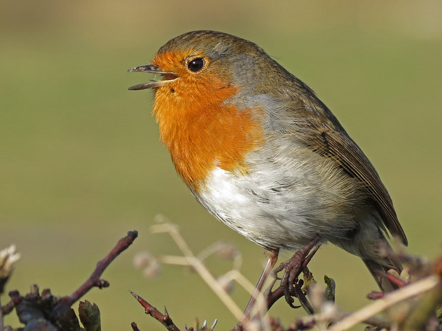 Robin, Ardmore Point, Firth of Clyde, Scotland