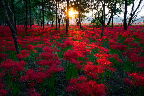 park autumn sunset red sun japan spider lily sony lilies sunburst saitama nex hidaka redspiderlily nex7 dheej18 djvillanueva desereejoyvillanueva sonynex7