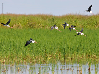Black-necked Stilts | by USDAgov