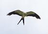 Swallow-tailed Kite 140910 Elanoides forficatus by Langham Birder