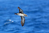 Pink-footed Shearwater, San Diego pelagic, California by Terathopius