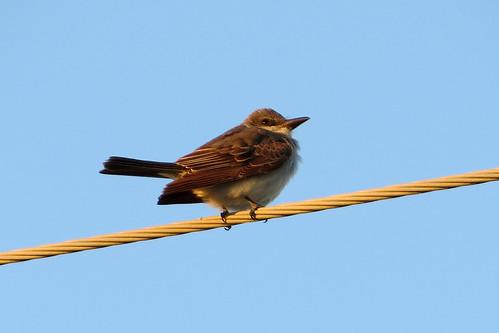 bird tyrannusdominicensis