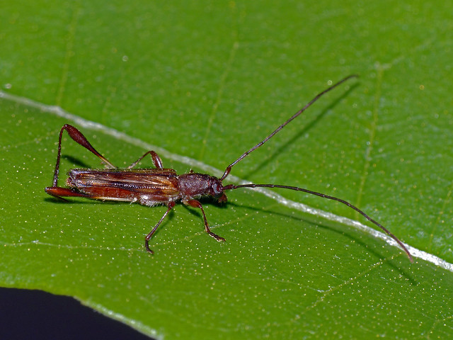 Longhorn beetle Mecynopus cothurnatus