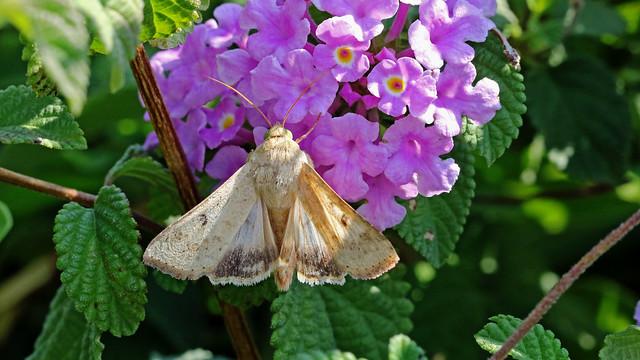 Corn earworm moth. Helicoverpa armigera ( or zea )