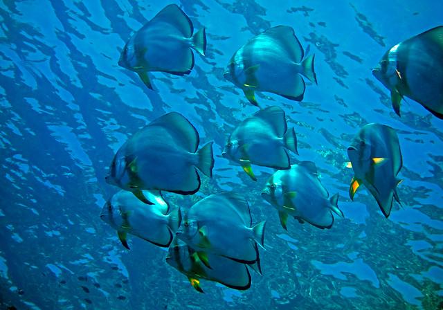Orbicular Batfish, Platax orbicularis, Wreck, Shark Reef, Ras Muhammad, Red Sea