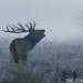 UK - Wildlife - Deer