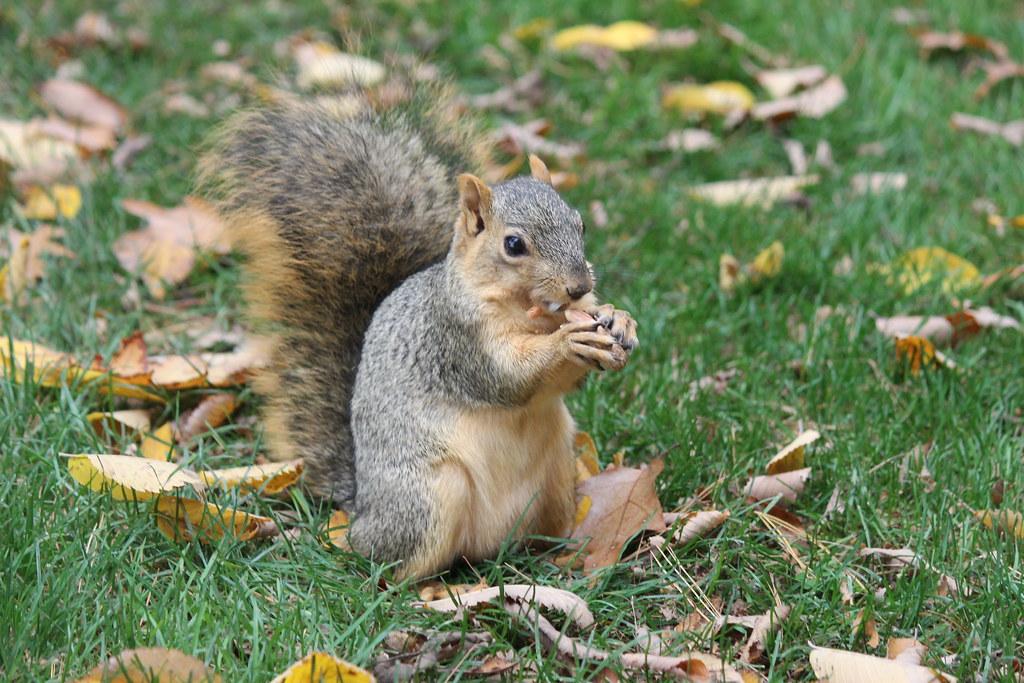 Squirrels at the University of Michigan (October 22, 2014) - Explored!