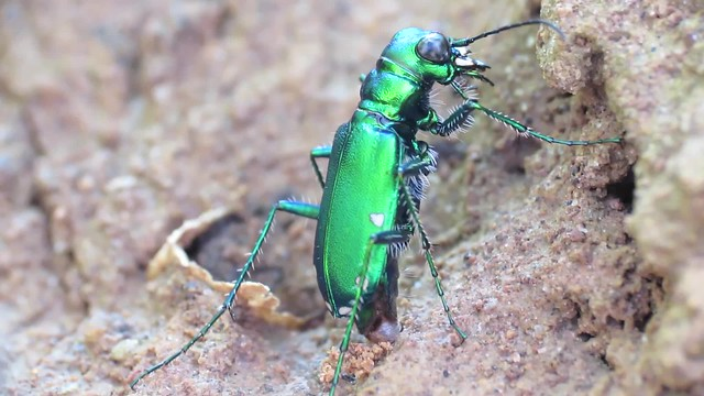 Six-spotted Tiger Beetle Ovipositing Lateral View