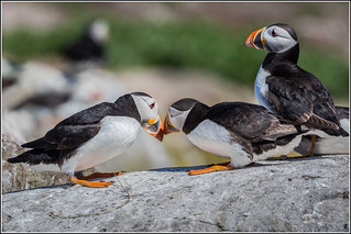 Puffins Greeting | by Smudge 9000