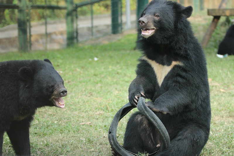 Moon bear Bradley tastes freedom at Animals Asia's Chengdu Bear Rescue Centre, 2013