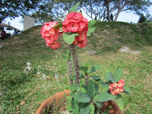sanjose tarlac luzon philippines flower asia world
