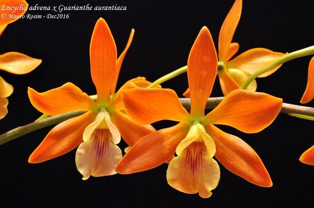 Encyclia advena x Guarianthe aurantiaca