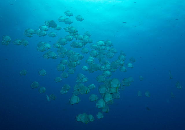 Orbicular Batfish, Platax orbicularis, Shark Reef, Ras Mohammad, June 2015