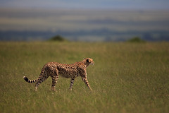 Next: Cheetah on the Move
