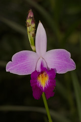 Bamboo orchid!