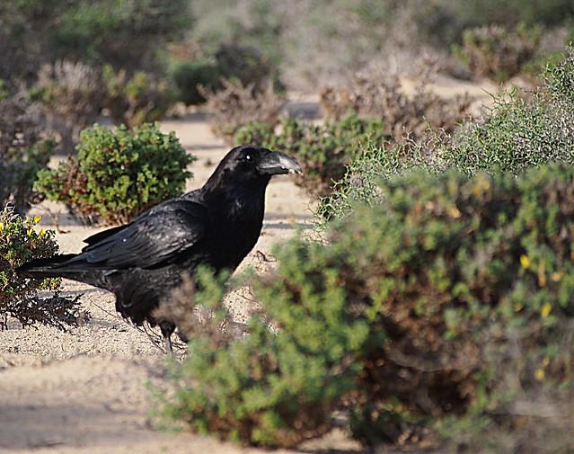 The raven. El cuervo. Der Rabe
