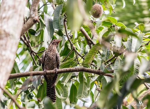avian bird birding creativince kadayal tamilnadu