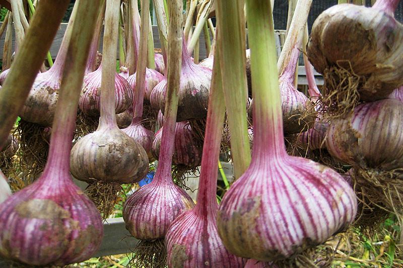 Garlic curing at Duck Creek Farm, Saltspring Island, Gulf Islands, British Columbia