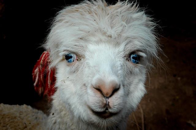 The Blue-Eyed Alpaca