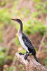 Long-tailed Cormorant by rhysmarsh