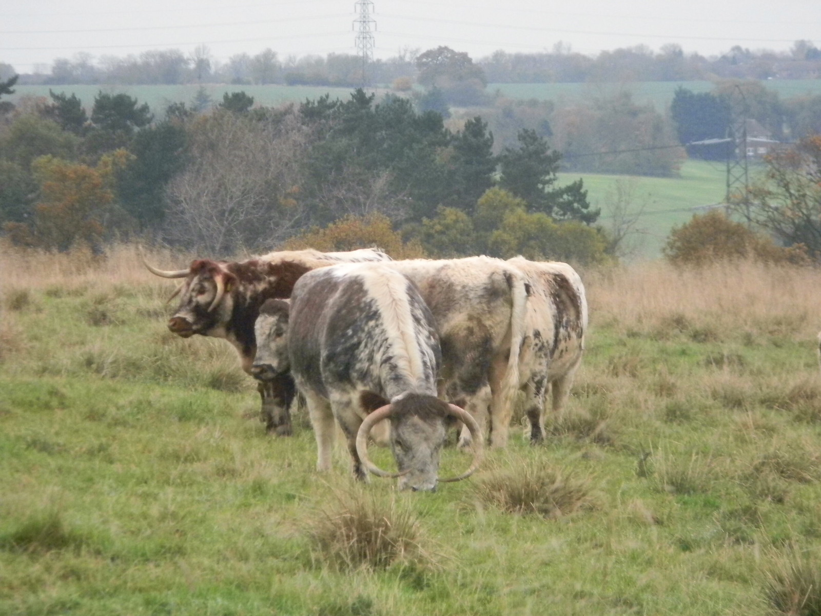 English Longhorns Copped Hall, Loughton to Essex