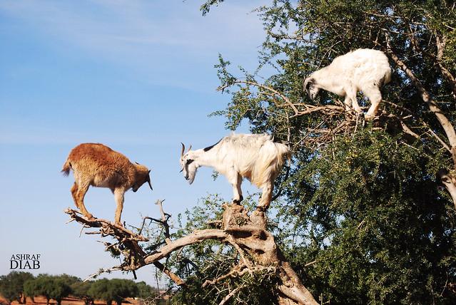 goats on a tree . . .