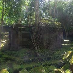 #7478 Chinese banyan (ガジュマル) attacking ruins